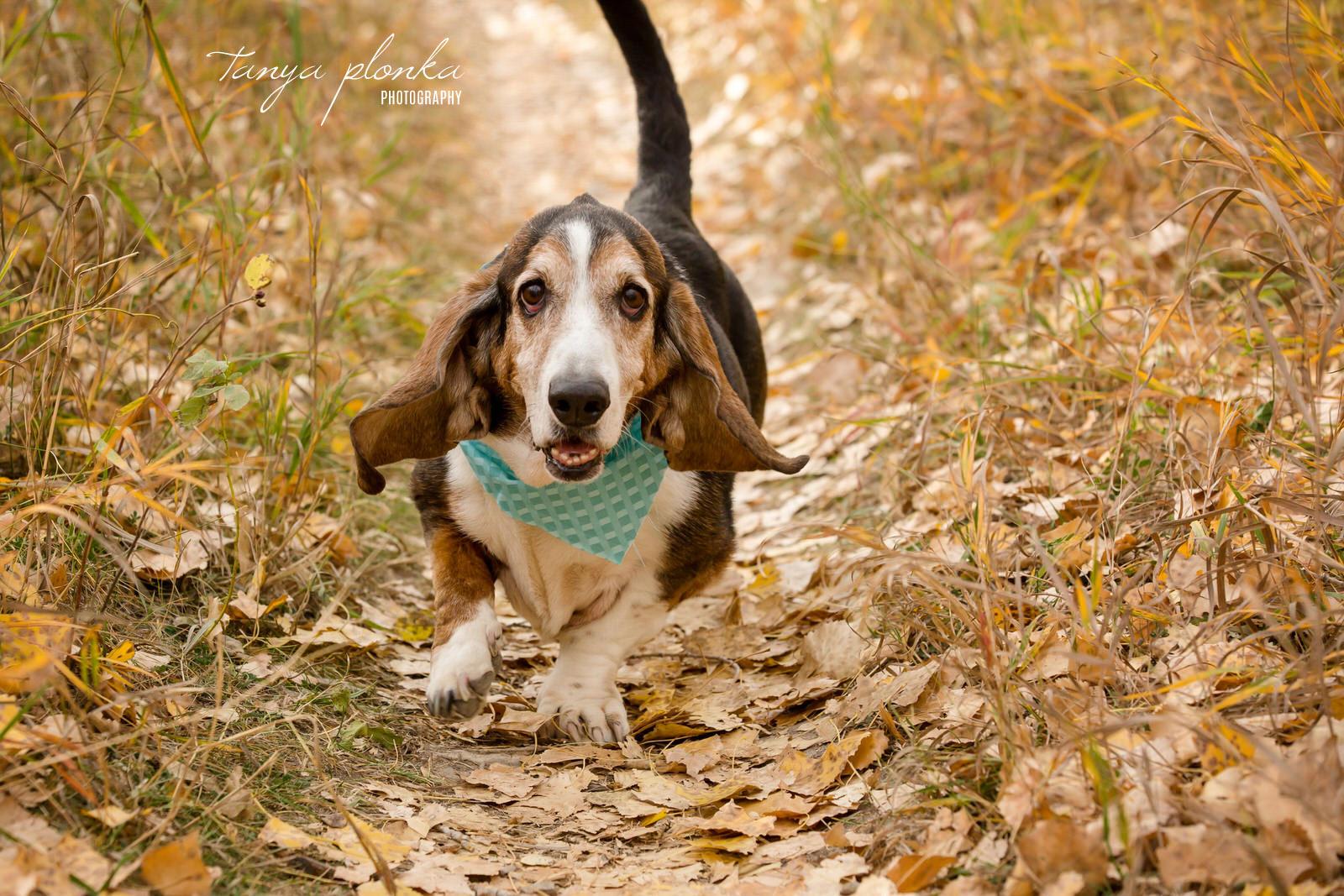 Basset Hound running in Indian Battle Park