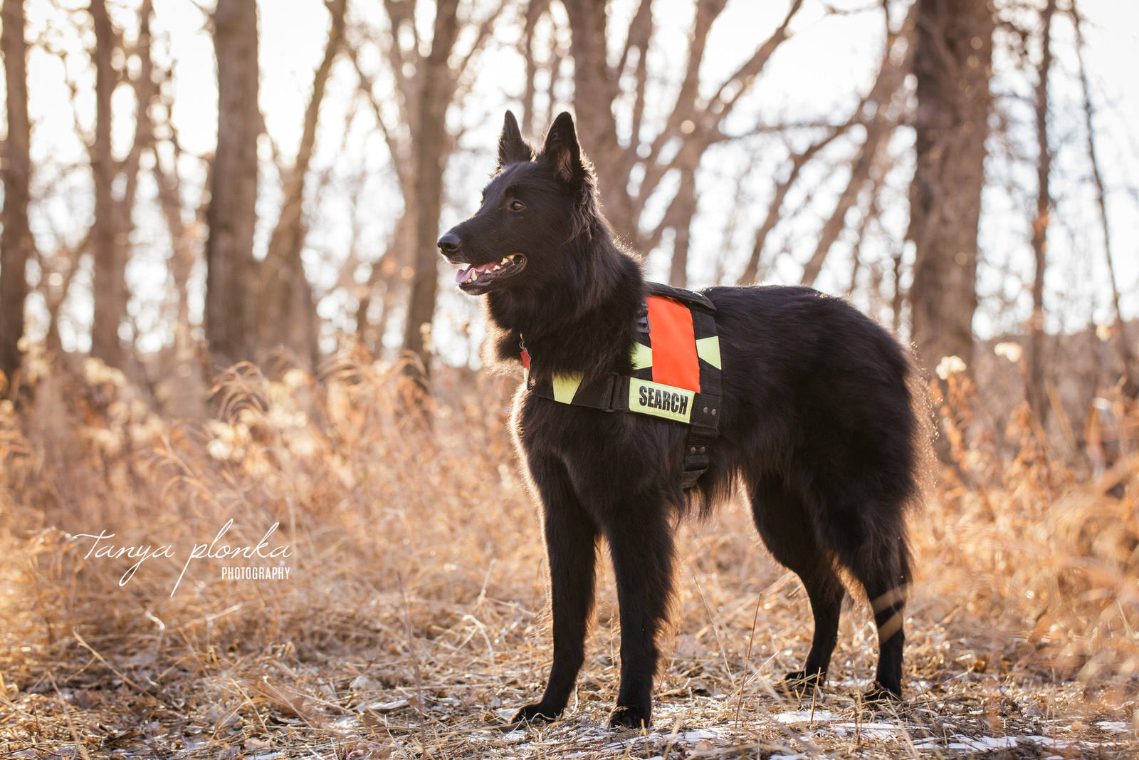 Belgian Shepherd poses with his search and rescue gear on in Indian Battle Park