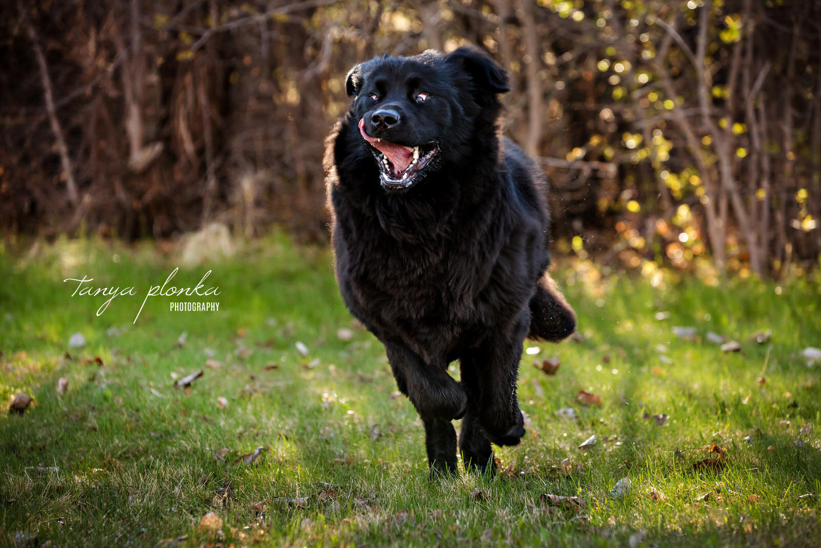 black dog running with tongue flopping out