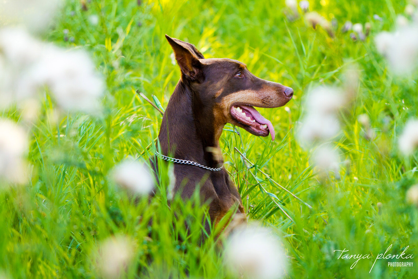 a Chocolate Doberman dog sits in long green grass in the Lethbridge river bottom
