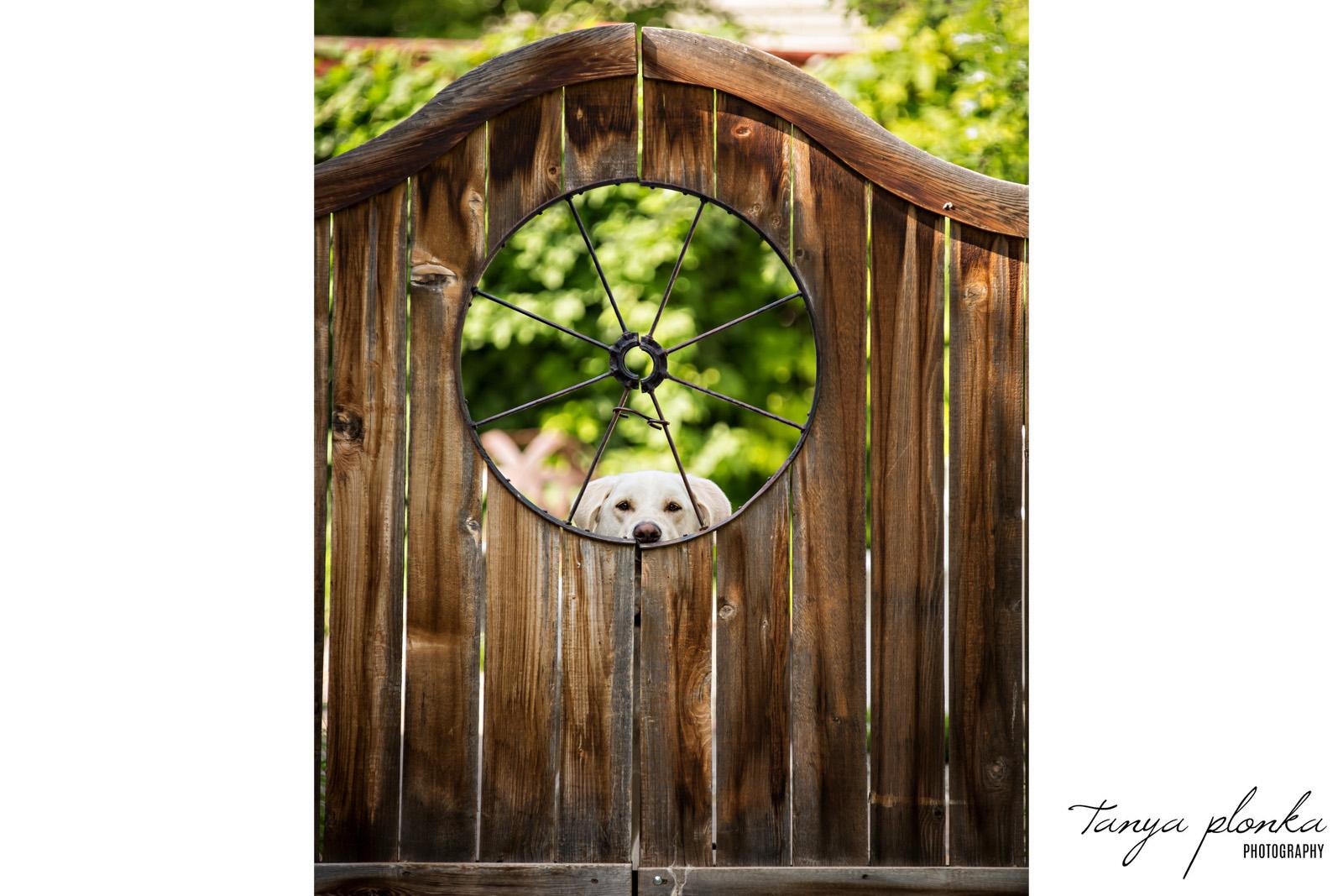 Cute dog looking through circular opening in wooden gate