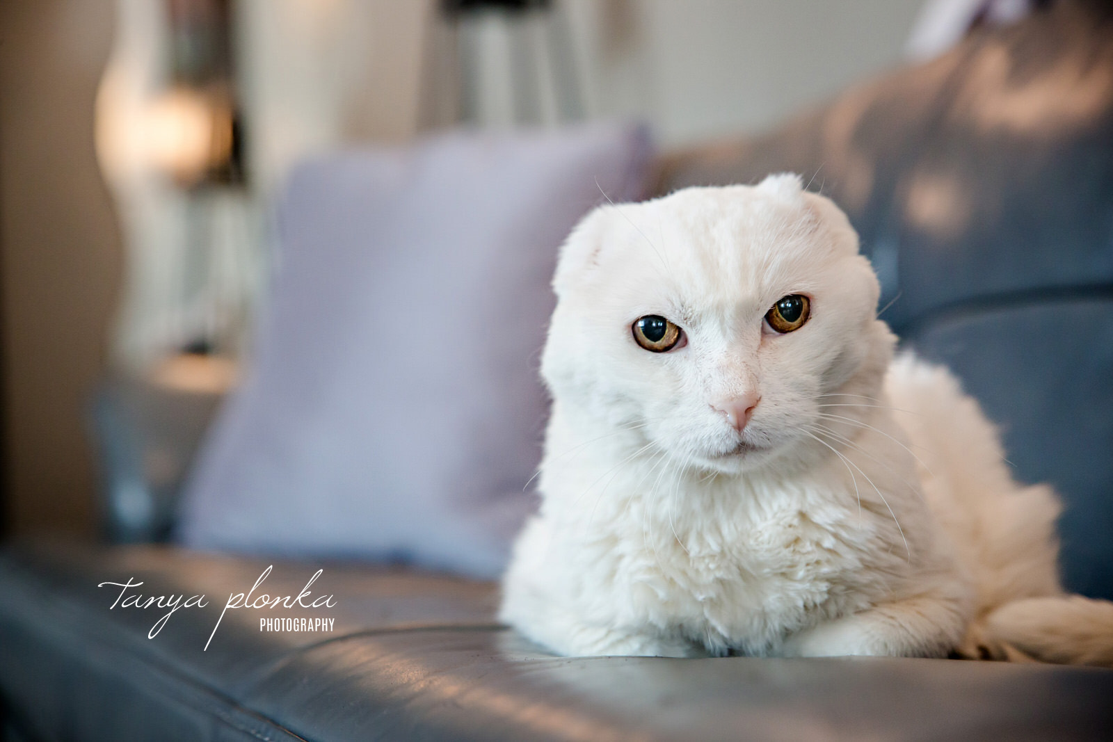 White cat with no ears looks at the camera