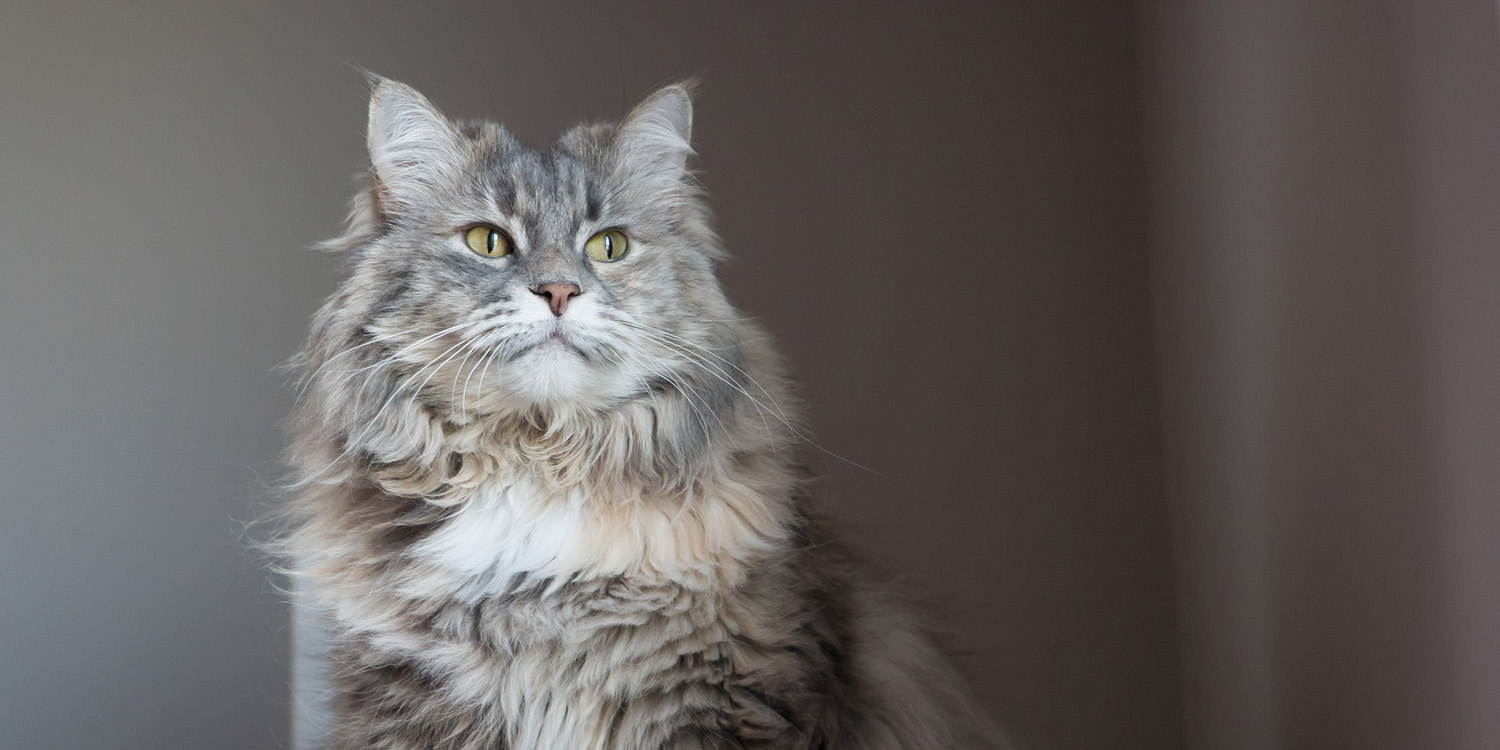fluffy gray cat looking to side