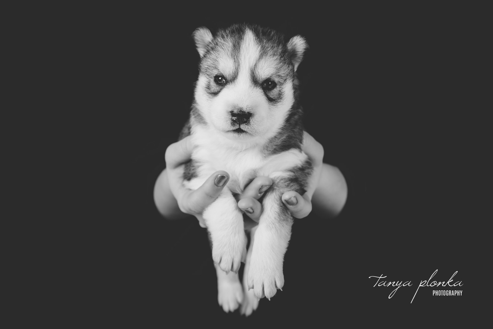 Black & White Husky Puppy in Hands