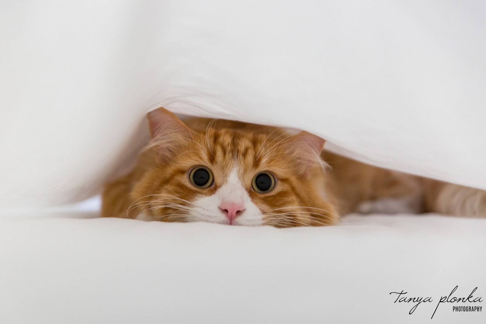 orange cat lays flat between white sheets with large dilated eyes