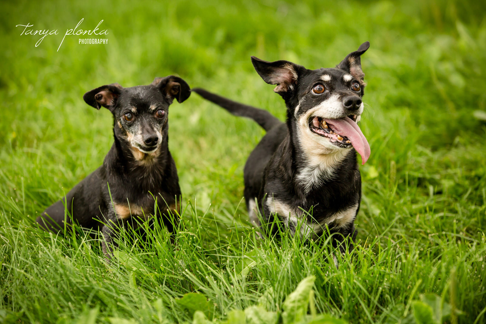 Pair of weiner dogs in long green grass