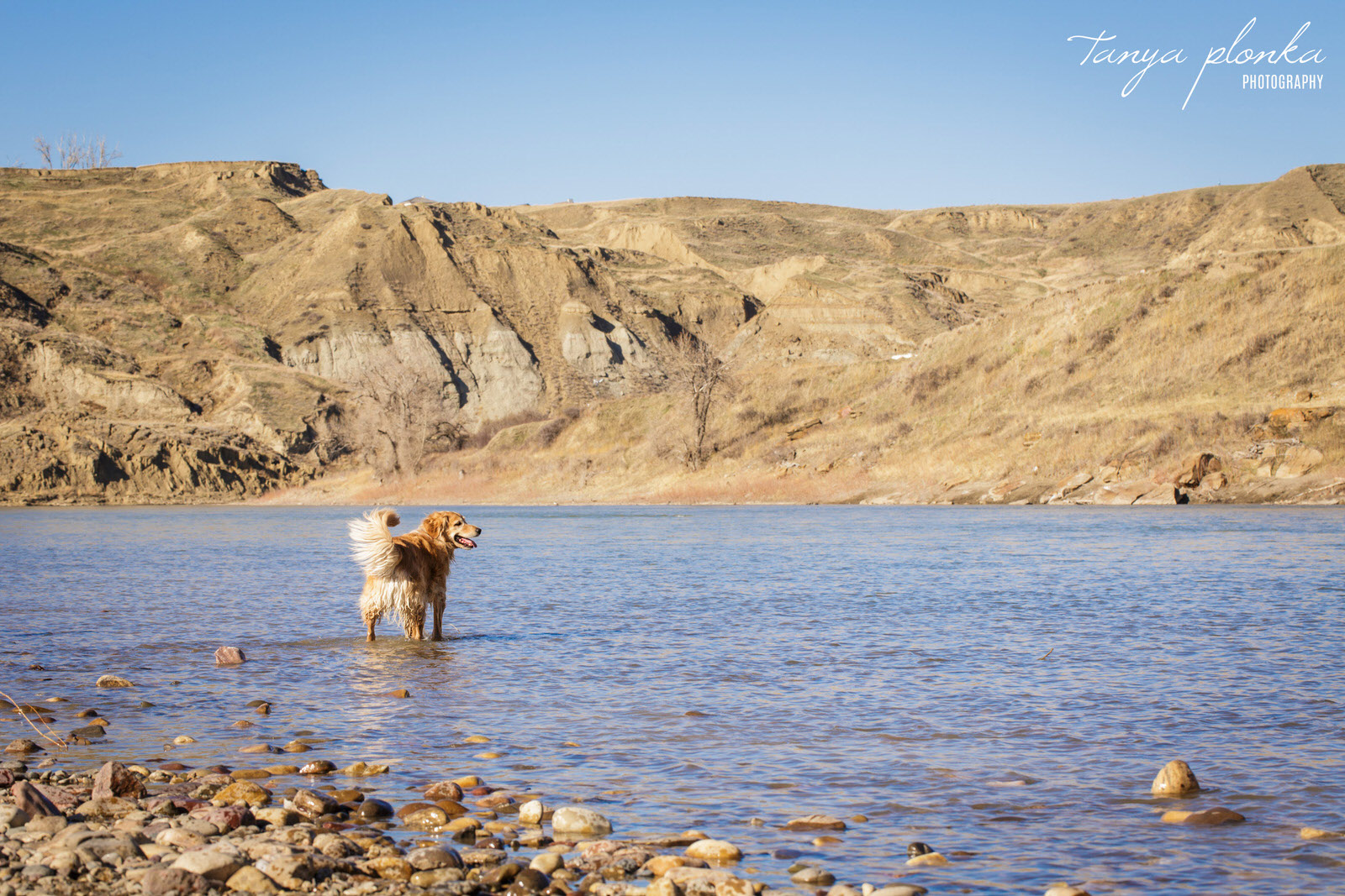 golden retriever stands in the Oldman River at Popson Park