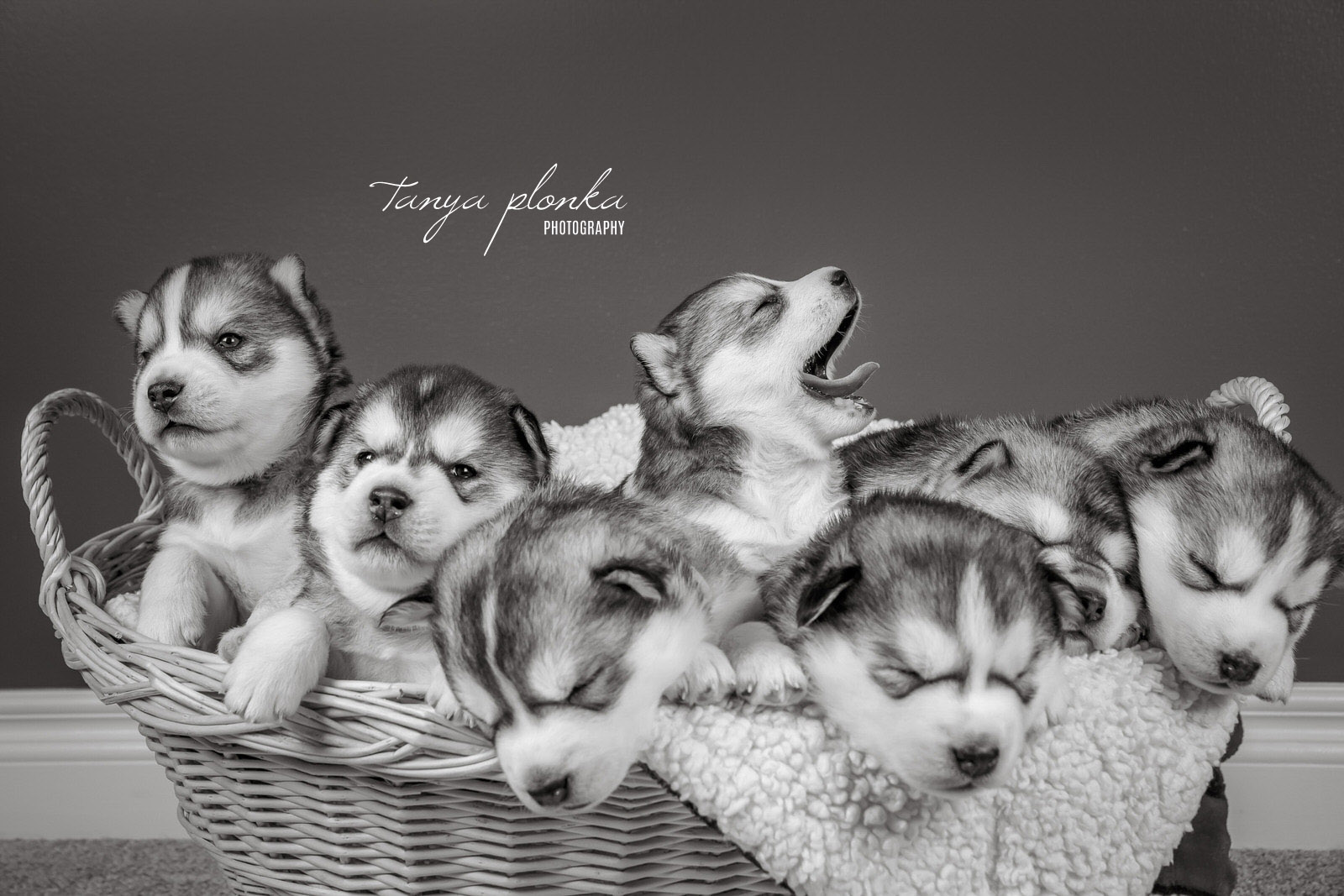 Basket of Husky Puppies Yawning